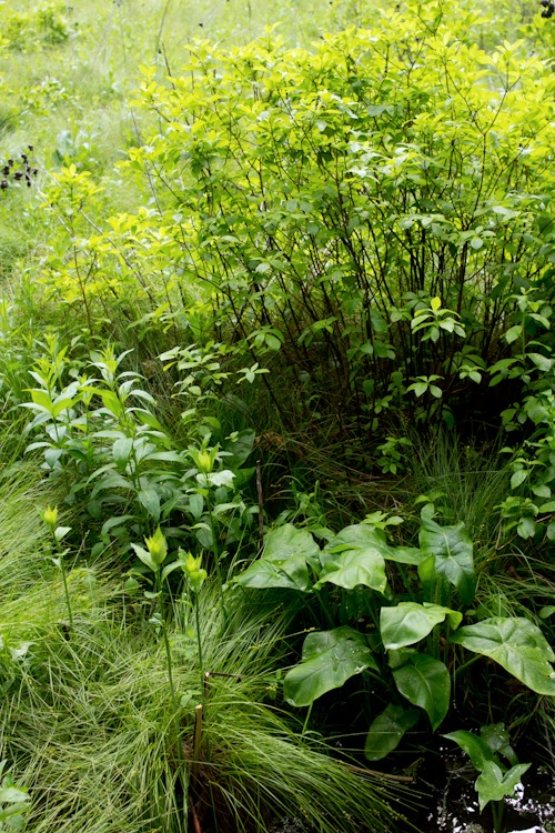 greenbelt staten island loosestrife hourglass wildest